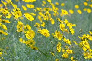黄色の花畑の写真素材 [FYI00283274]
