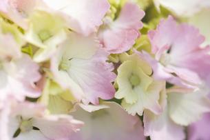 紫陽花の写真素材 [FYI00283275]