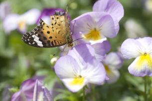パンジーと蝶の写真素材 [FYI00283276]