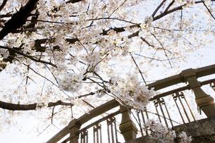 桜の写真素材 [FYI00283300]