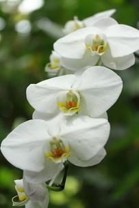 優雅に咲く胡蝶蘭の写真素材 [FYI00283373]