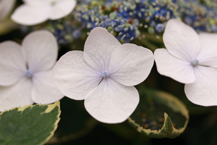 紫陽花の誉れの写真素材 [FYI00283386]