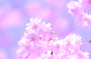 桜の写真素材 [FYI00283592]