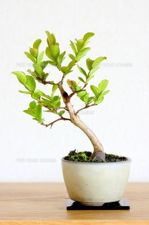 サルスベリの盆栽の写真素材 [FYI00283629]