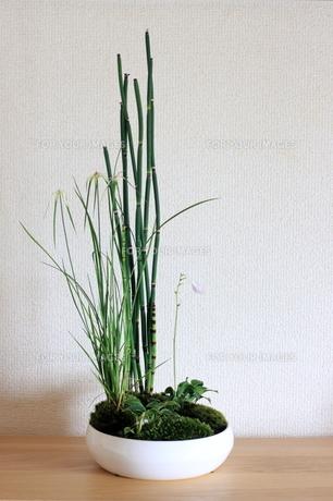 トクサ 盆栽の写真素材 [FYI00283641]