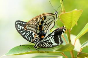 蝶の素材 [FYI00283651]