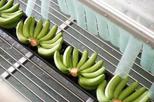 バナナ出荷の素材 [FYI00283662]