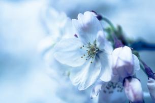 Sakura 5の写真素材 [FYI00283705]