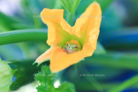 花の中のカエルの素材 [FYI00283809]