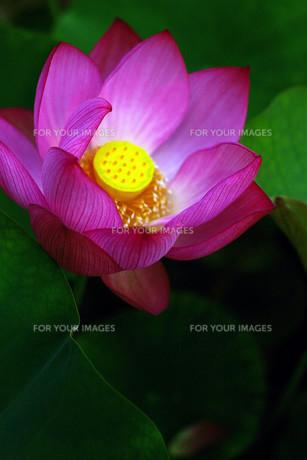 蓮の花の写真素材 [FYI00283964]
