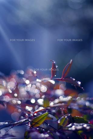 きらめく水滴と葉の写真素材 [FYI00283972]