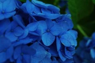紫陽花の写真素材 [FYI00284013]