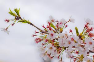 躍動する桜の写真素材 [FYI00284033]