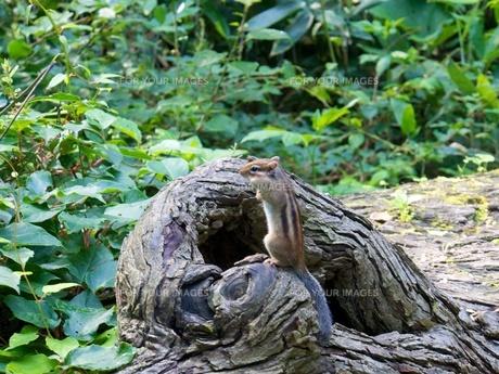 木の切り株で立ち上がるリスの素材 [FYI00284158]