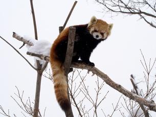 木の上のレッサーパンダの写真素材 [FYI00284225]