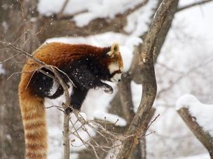 木の上のレッサーパンダの写真素材 [FYI00284238]