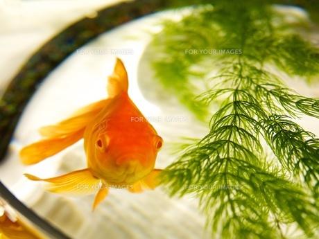 金魚鉢の中の赤い金魚の写真素材 [FYI00284253]