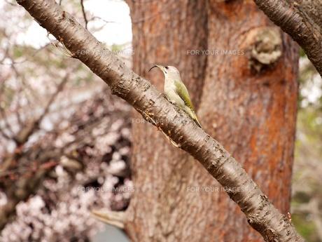 木の上のヤマゲラの写真素材 [FYI00284260]