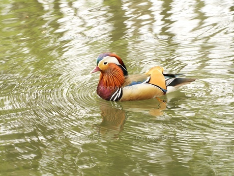 池を泳ぐオシドリの写真素材 [FYI00284266]