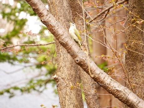 木の上のヤマゲラの写真素材 [FYI00284271]