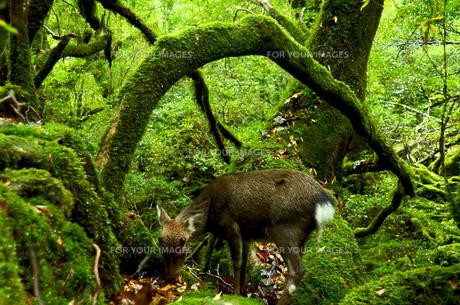 屋久島の鹿の写真素材 [FYI00284316]