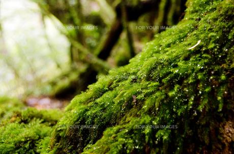 屋久島の自然の写真素材 [FYI00284343]