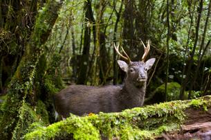 屋久島の鹿の写真素材 [FYI00284349]