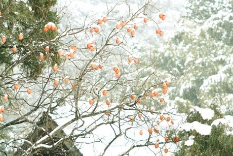柿の木の写真素材 [FYI00284411]