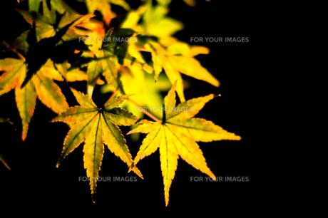 紅葉、光に照らされる。の素材 [FYI00284894]