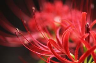 ヒガンバナの花の接写写真の写真素材 [FYI00284933]