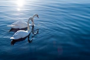 白鳥の写真素材 [FYI00285222]