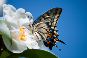 ナミアゲハチョウの写真素材 [FYI00285237]