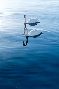 白鳥の写真素材 [FYI00285313]