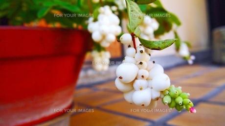 白と黄緑の木の実の写真素材 [FYI00285866]