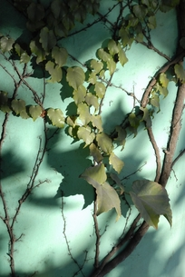 蔦の陰影の写真素材 [FYI00285900]