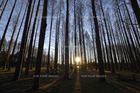 朝日射すメタセコイアの森の写真素材 [FYI00285904]