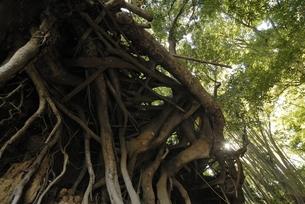 露出した根の写真素材 [FYI00285907]