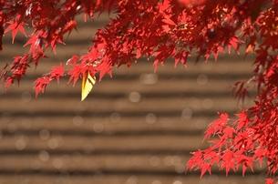 落葉の寄り道の写真素材 [FYI00285910]