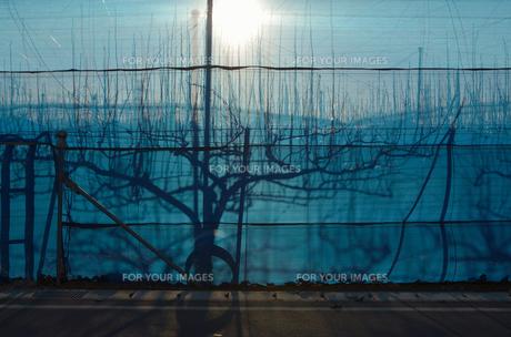 冬の梨畑の写真素材 [FYI00285920]