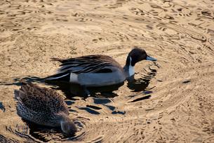 水面模様に浮かぶ水鳥の写真素材 [FYI00285921]