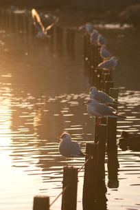 朝日浴びるユリカモメの写真素材 [FYI00285924]