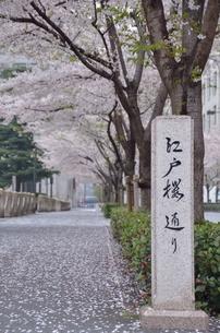 江戸桜通りの写真素材 [FYI00285932]