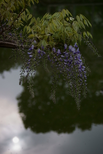 藤の花 和の心の写真素材 [FYI00285935]