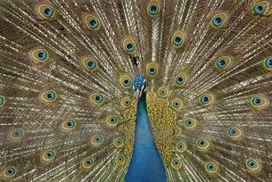 孔雀 威嚇する羽の写真素材 [FYI00285937]