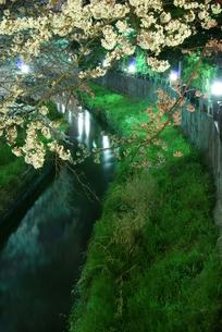 春の夜の真間川の写真素材 [FYI00285938]