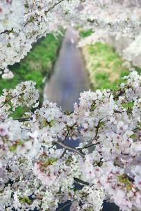 満開の桜の写真素材 [FYI00285941]