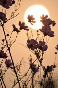 秋桜の写真素材 [FYI00285970]