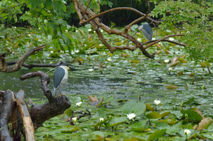 蓮の咲く池の写真素材 [FYI00285971]