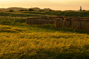 沼の畔の収穫期の写真素材 [FYI00285974]