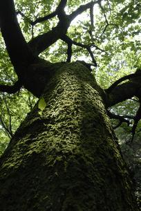 木の巨人の写真素材 [FYI00285988]